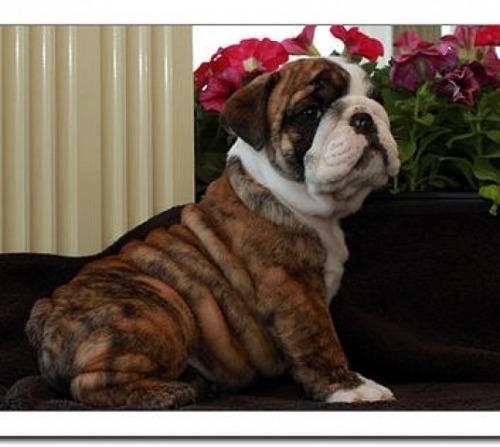 Caini bulldog englez