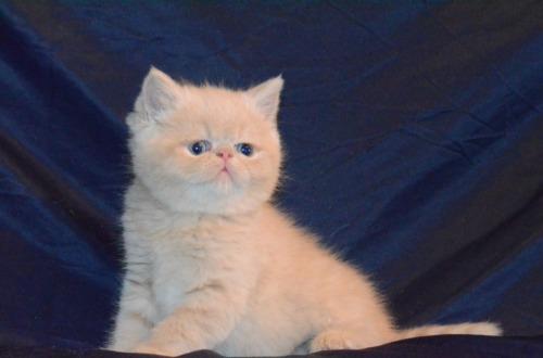 Vand pisici exotic shorthair